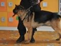 Cezar -pies tropiący w naszych progach